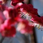 Ume Plum Blossoms