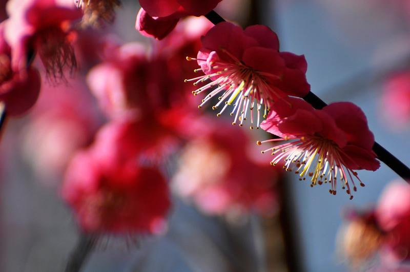 Ume Plum Blossoms